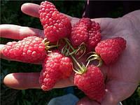 Малина Патриция. плод 3-4 см.