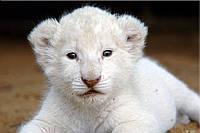 Светящиеся картины Startonight Белый Тигр Печать на Холсте Животные Декор стен Дизайн дома Интерьер