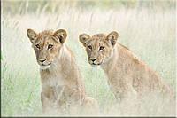 Светящиеся картины Startonight Львы Калахари Печать на Холсте Животные Декор стен Дизайн дома Интерьер