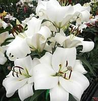Лилия Лилия ОТ-гибридная Замбези (Zambesi)  Цветок до 25 см