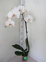 Орхидея Phalaenopsis Стандарт Крупноцветковая