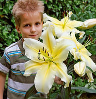 Лилия ОТ-гибридная Биг Бразер (Big Brother) Цветок до 30 см, фото 1