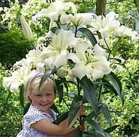 Лилия ОТ-гибрид ПРЕТТИ ВУМЕН (Pretty Woman) Цветок до 30 см