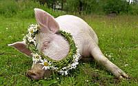 Комбикорм полнорационный для свиней (быстрый откорм)