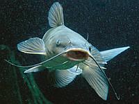 Полнорационный комбикорм для рыбы (СП 22%)