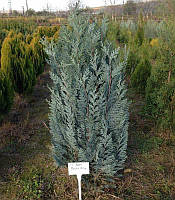 Chamaecyparis lawsoniana 'Pelts blue' Кипарисовик Лавсона,З грунту,120-140см