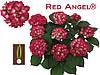 Гортензия крупнолистная Red Angel (Рэд энжел) в контейнере