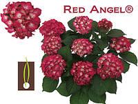 Гортензия крупнолистная Red Angel (Рэд энжел)