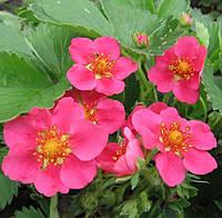 Декоративная земляника, розовая, с комом земли