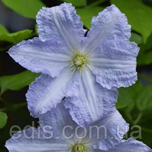 Клематис Blue Angel (блю Енжел)