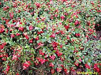 Брусника Ред Перл Красная жемчужина