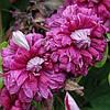 Клематис Purpurea Plena Elegans (Пурпуреа Плена Элеганс) мелкоцветковый