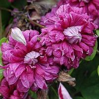 Клематис Purpurea Plena Elegans (Пурпуреа Плена Элеганс) мелкоцветковый, фото 1