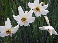 Нарцисс Tommy's White (луковицы)