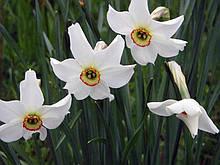 Нарцисс Tommy's White (выкопанные луковицы).
