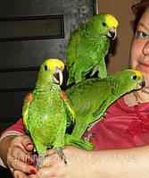 В продаже элитные попугаи Амазоны