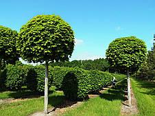 """Клен остролистный """"Globosum"""". St, H 200, HO 6-8, конт, фото 2"""