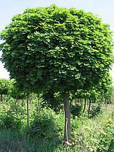 """Клен остролистный """"Globosum""""  Высота 2-2.20 метра."""
