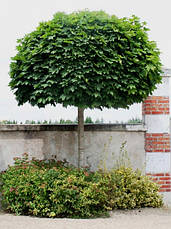 """Клен остролистный """"Globosum"""". St, H 200, HO 6-8, конт, фото 3"""