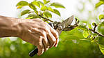 Обрезка деревьев – как это делать?