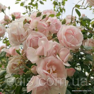 Троянда в'юнка Нью Даун (New Dawn)