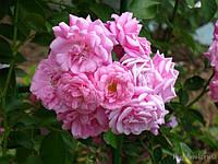 Роза плетистая Чаплинз Пинк (Chaplin's Pink)