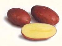 Картофель семенной Тирас, ранний 1 репродукция