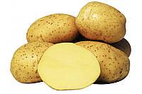 Картофель семенной Колетте, сверхранний 1 репродукция