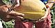 Семена дыни Мазин F1 \ Mazon F1 5000 семян Clause , фото 3
