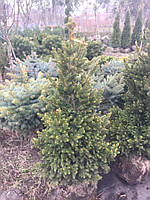 Ель обыкновенная (Picea abies) Will's Zwerg