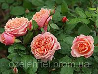 Саженцы Роз (Флорибунда и Чайно-гибридные) в ассортименте (40-45 см)
