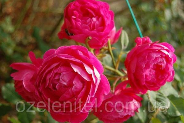 Саженцы Роз (Флорибунда и Чайно-гибридные) в ассортименте (90-95 см)