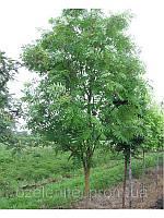 Рябина обыкновенная / Sorbus aucuparia / Горобина звичайна