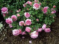 """Саженцы парковых английских роз ,,Александра"""""""