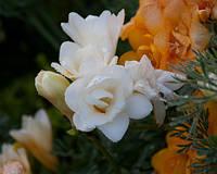 Фрезия белая махровая 5 шт