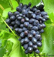 Саженец винограда сорт Кодрянка