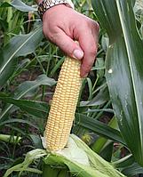 Семена сахарной кукурузы Свит Наггет F1 5000 семян Agri Saaten