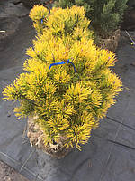 Сосна горная Карстенс Винтерголд Pinus mugo Carstens Wintergold