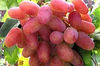 Саженец винограда сорт Одесский сувенир