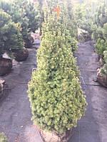 Ель канадская Picea glauca Conicа