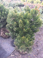 Сосна Гельдрейха Компакт Джем Pinus heldreichii 'Compact Gem'