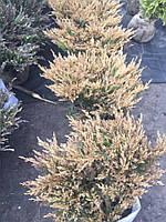 Можжевельник горизонтальный Лаймглоу Juniperus horizontalis Limeglow