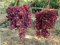 Саженец Винограда сорт Велес