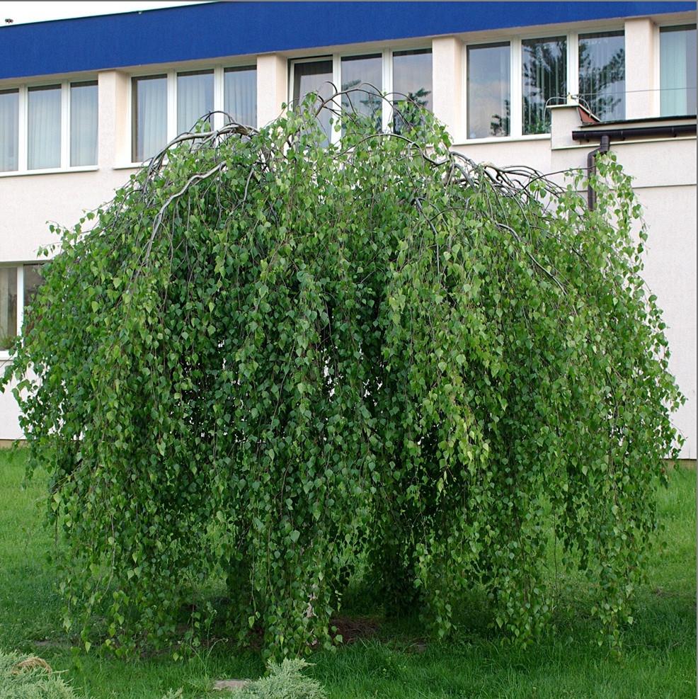 Береза бородавчатая  Youngii  (высота 1.70- 2.20м, HO 16-18)