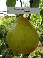 Саженцы груши сорта Молдавська рання