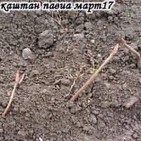 kashtan_pavia.jpg