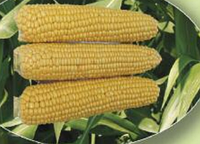 Семена сахарной кукурузы AGX 11-195 F1 5000 семян Agri Saaten