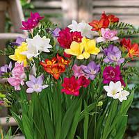 Фрезия микс цветов, 10шт