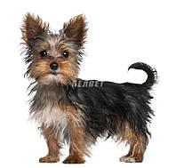 Royal Canin Йоркширский терьер до 10 месяцев 0,5 кг