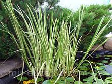 Аир пестролистный (Acorus calamus «Variegatus»)